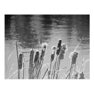 Cattails by the Pond in Black and White Postcard
