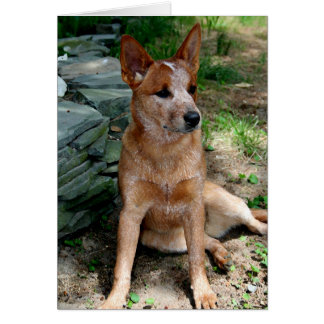 Cattle Dog Greeting Card