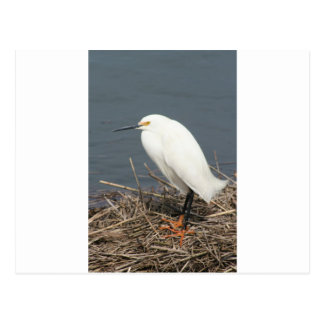 Cattle egret postcard