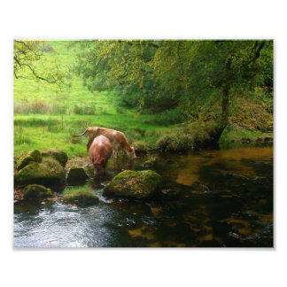Cattle Golitha Falls River Fowey Cornwall England Art Photo