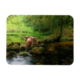 Cattle Golitha Falls River Fowey Cornwall England Rectangular Photo Magnet