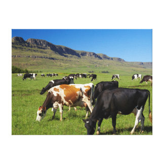 Cattle In Kamberg Valley, Kwazulu-Natal 2 Canvas Print