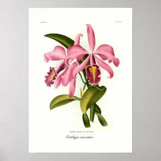 Cattleya maxima print