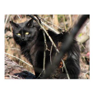 Cautious Star Noir Cat Postcard