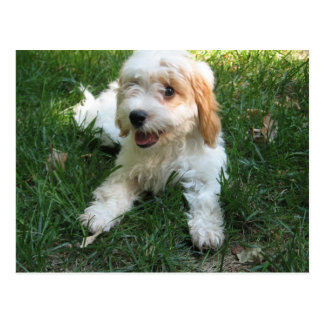 Cavachon Postcard, Add your Dog Photo Postcard