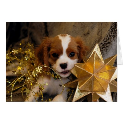 Cavalier King Charles Holiday Star Card   Zazzle