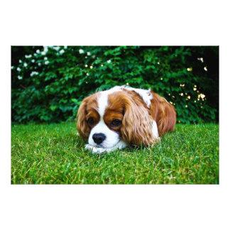 Cavalier King Charles Spaniel Blenheim in Grass Art Photo