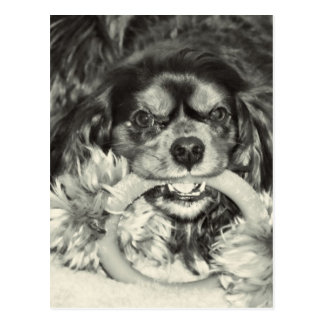 Cavalier King Charles Spaniel Chew Bone Post Cards