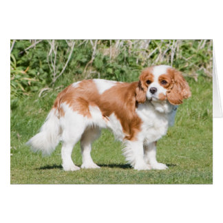 Cavalier King Charles Spaniel dog blank note card