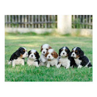 Cavalier King Charles Spaniel puppies Postcard