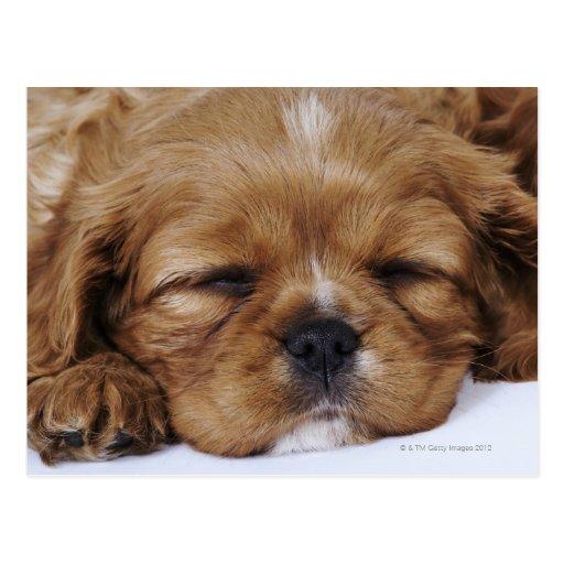 Cavalier King Charles Spaniel puppy sleeping Post Cards