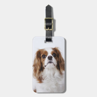 Cavalier King Charles Spaniel sitting in studio Luggage Tag