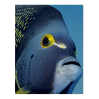 Cayman Islands, French Angelfish Pomacanthus Postcard