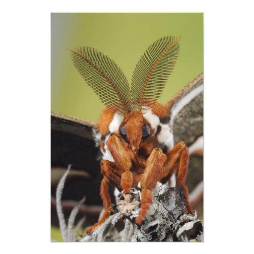 Cecropia Moth, Hyalophora cecropia, adult Photo Art