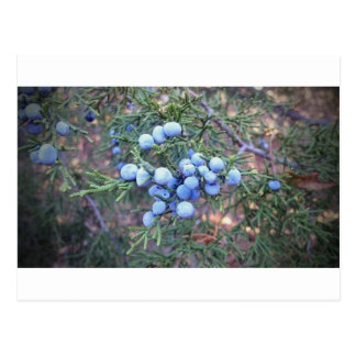 Cedar Berries Postcard