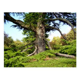 Cedar-of-Lebanon Tree Postcard