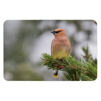 Cedar Waxwing Large Photo Magnet