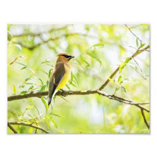 Cedar Waxwing Photo Print
