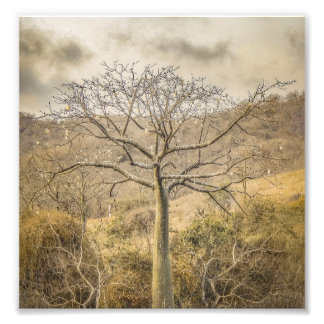 Ceiba Tree at Dry Forest Guayas District - Ecuador Photo