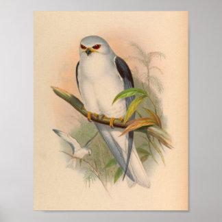 Celebean Elanus White Kite Bird Vintage Art Print