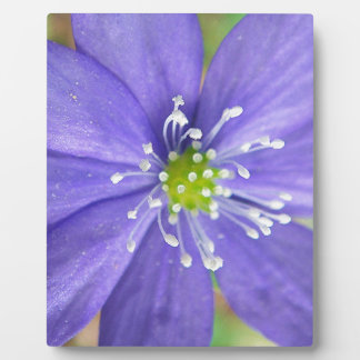 Center of a blue flower with white stamps plaques