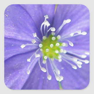 Center of a blue flower with white stamps square sticker