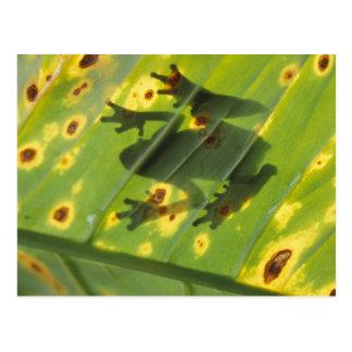 CENTRAL AMERICA, Costa Rica, Back-lit frog on Postcard