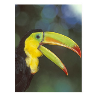 Central America, Costa Rica. Keel-billed Postcard