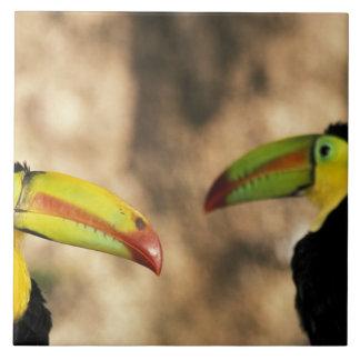 Central America, Honduras. Keel-billed Toucan 2 Large Square Tile