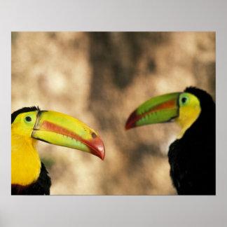 Central America, Honduras. Keel-billed Toucan 2 Poster