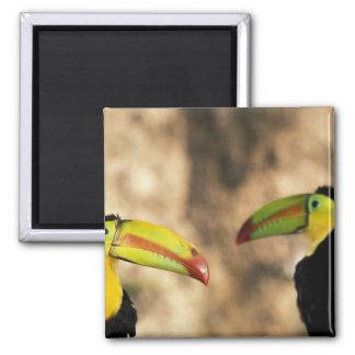 Central America, Honduras. Keel-billed Toucan 2 Square Magnet