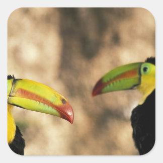 Central America, Honduras. Keel-billed Toucan 2 Square Sticker