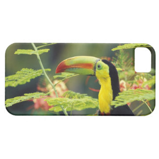 Central America, Honduras. Keel-billed Toucan iPhone 5 Cover