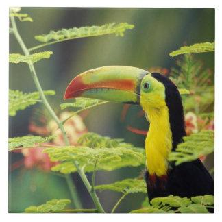 Central America, Honduras. Keel-billed Toucan Large Square Tile