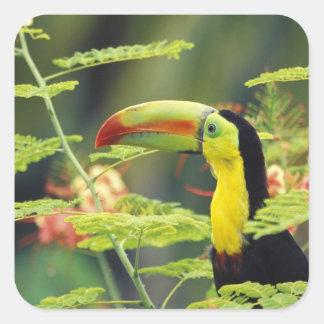 Central America, Honduras. Keel-billed Toucan Square Sticker