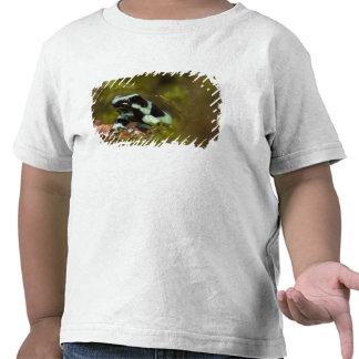 Central PA, USA, Auratus Dart Frog; aka Green Tee Shirt