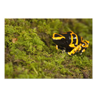 Central PA, USA, Bumble Bee Dart Frog; Photographic Print