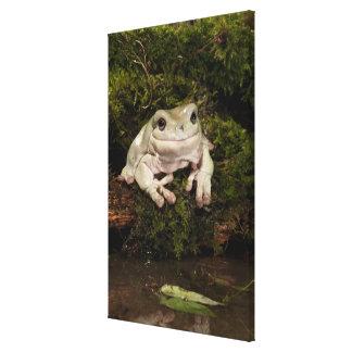 Central PA, USA, White's Treefrog; Litoria Gallery Wrap Canvas