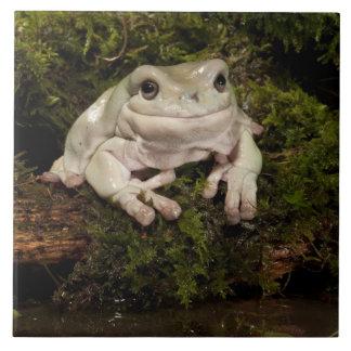 Central PA, USA, White's Treefrog; Litoria Large Square Tile