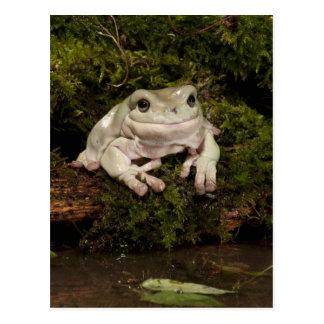 Central PA, USA, White's Treefrog; Litoria Postcard