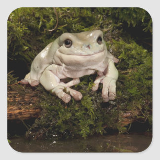 Central PA, USA, White's Treefrog; Litoria Square Sticker