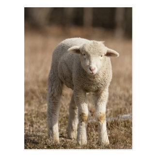Central Pennsylvania, USA,Domestic sheep, Ovis Postcard