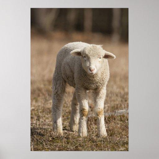 Central Pennsylvania, USA,Domestic sheep, Ovis Poster