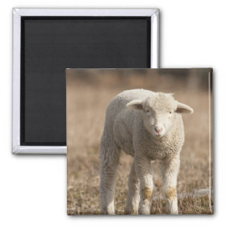 Central Pennsylvania, USA,Domestic sheep, Ovis Square Magnet