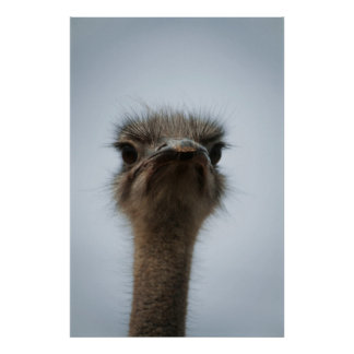 Central South Africa, African Ostrich, Close-up Poster