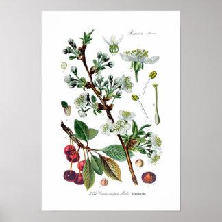 Cerasus vulgaris (Cherry) Poster