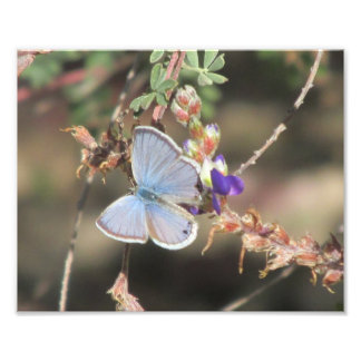 Ceraunus Blue Butterfly Photographic Print