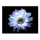 Cereus Cactus Blossom Postcard