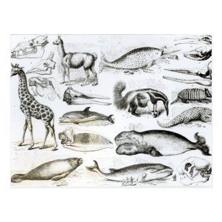 Cetacea Edentata Postcard