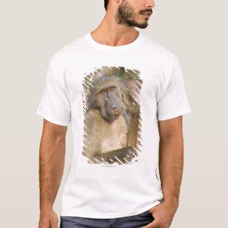 Chacma Baboon (Papio ursinus) scratching its T-Shirt